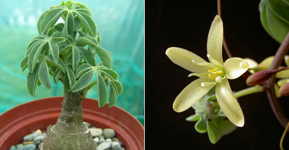 Adenia Glauca World Of Succulents
