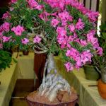 Adenium obesum subsp. swazicum (Summer Impala Lily) aka Adenium swazicum