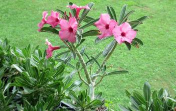 Adenium obesum subsp. swazicum (Summer Impala Lily)