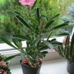 Adenium obesum subsp. swazicum - Summer Impala Lily
