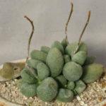 Adromischus marianiae 'Alveolatus' (Adromischus marianae f. alveolatus)