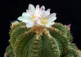 Aztekium ritteri – Aztec Cactus