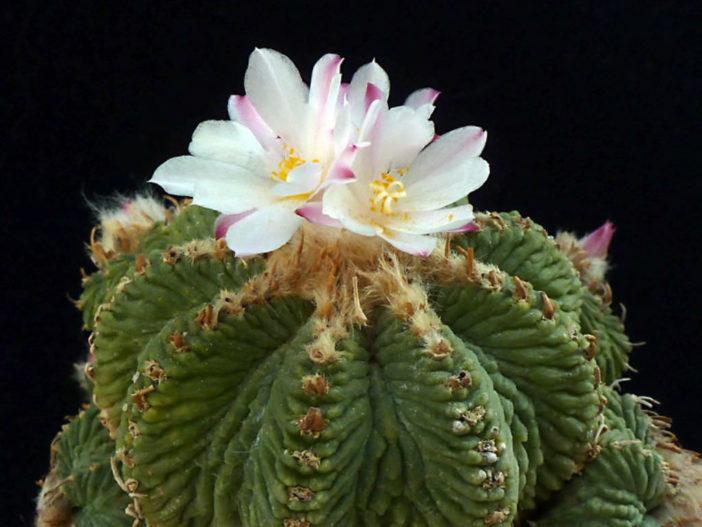Aztekium ritteri - Aztec Cactus