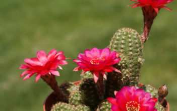 Chamaelobivia 'Rose Quartz' (Peanut Cactus)