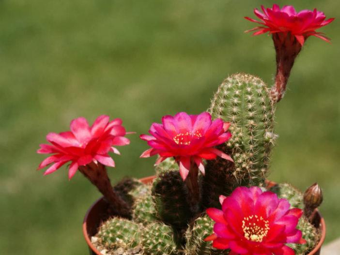 Echinopsis 'Rose Quartz' (Peanut Cactus), aka Echinopsis chamaecereus 'Rose Quartz' or x Chamaelobivia 'Rose Quartz'