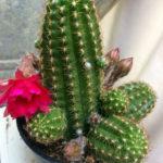 Chamaelobivia 'Rose Quartz' - Peanut Cactus