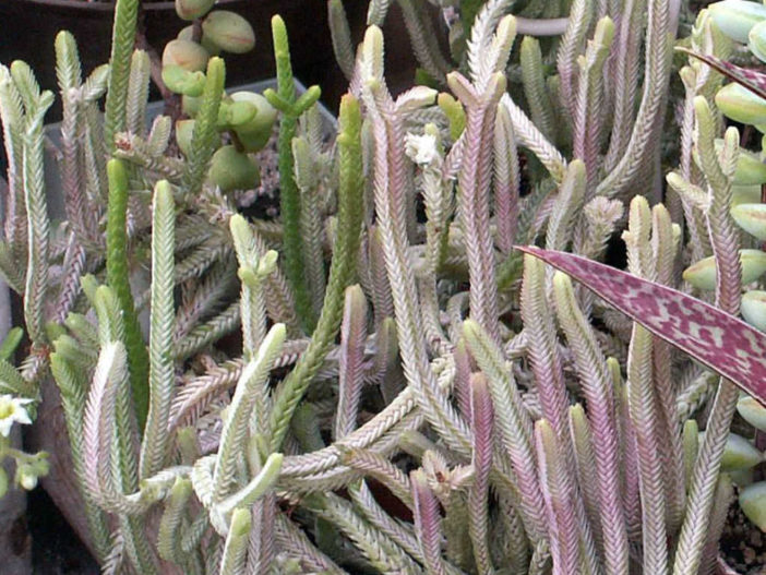 Crassula muscosa f. variegata (Watch Chain)