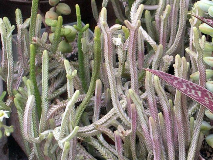 Crassula muscosa var. variegata - Watch Chain