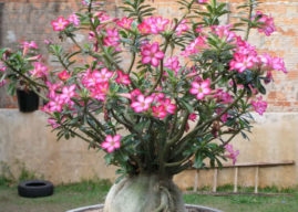 How to Care for Yellow Leaves on a Desert Rose (Adenium obesum)