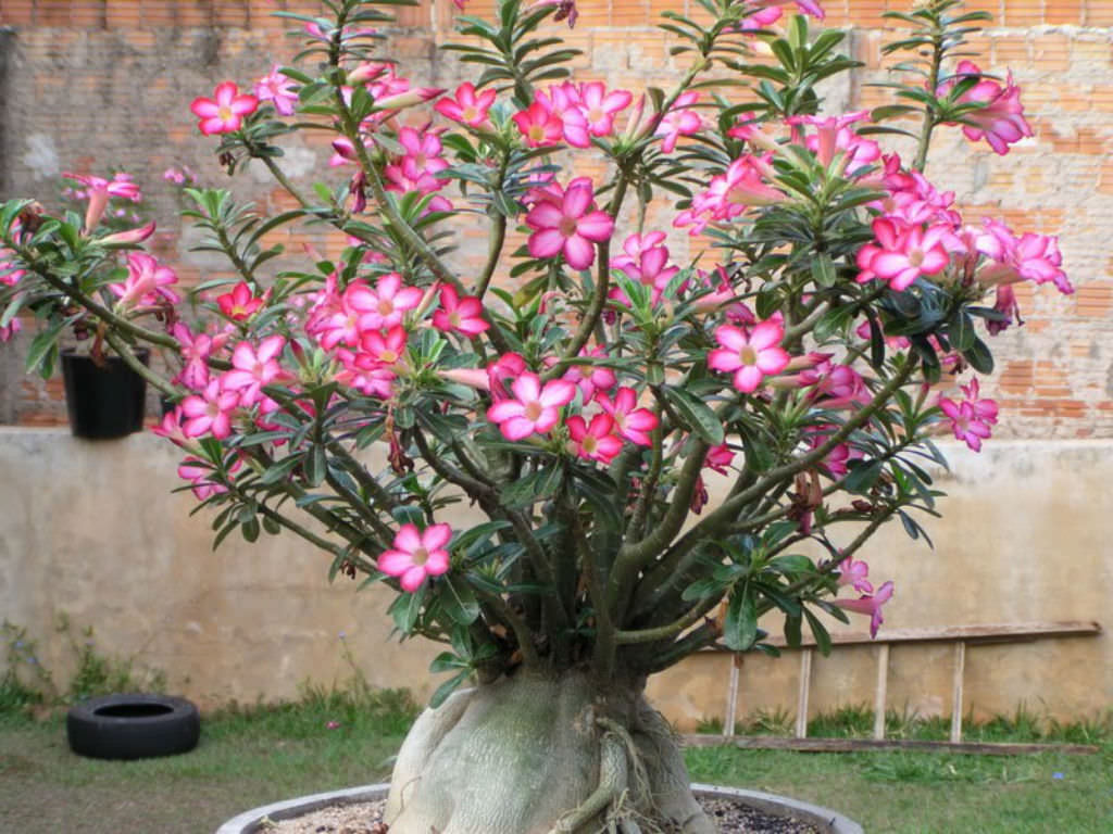 How To Care For Yellow Leaves On A Desert Rose World Of Succulents