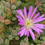 Drosanthemum floribundum - Pale Dewplant