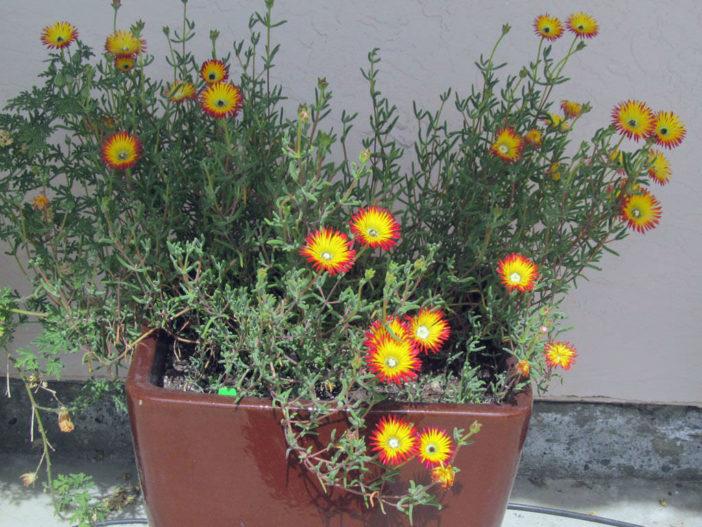 Drosanthemum micans - Robertson Vygie