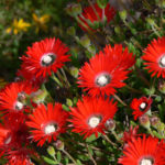 Drosanthemum speciosum - Royal Dewflower