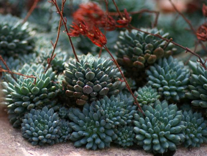 Echeveria setosa var. deminuta - Firecracker Plant