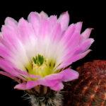 Echinocereus pectinatus - Rainbow Cactus