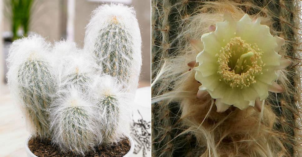 Espostoa lanata - Peruvian Old Man Cactus | World of ...