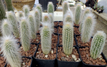 Espostoa lanata (Peruvian Old Man Cactus)
