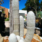 Espostoa lanata - Peruvian Old Man Cactus
