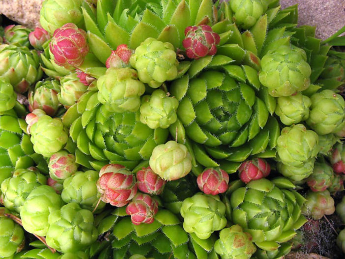 Sempervivum globiferum (Rolling Hen and Chicks) aka Jovibarba globifera