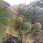 Kalanchoe laxiflora - Milky Widow's Thrill