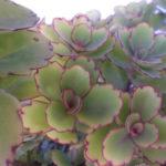 Kalanchoe laxiflora - Milky Widow's Thrill