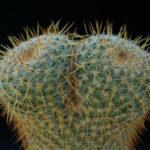Mammillaria muehlenpfordtii