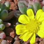 Othonna capensis - Little Pickles