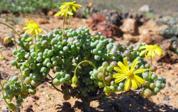 Othonna sedifolia