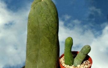 Pachycereus schottii 'Big Penis Cactus'
