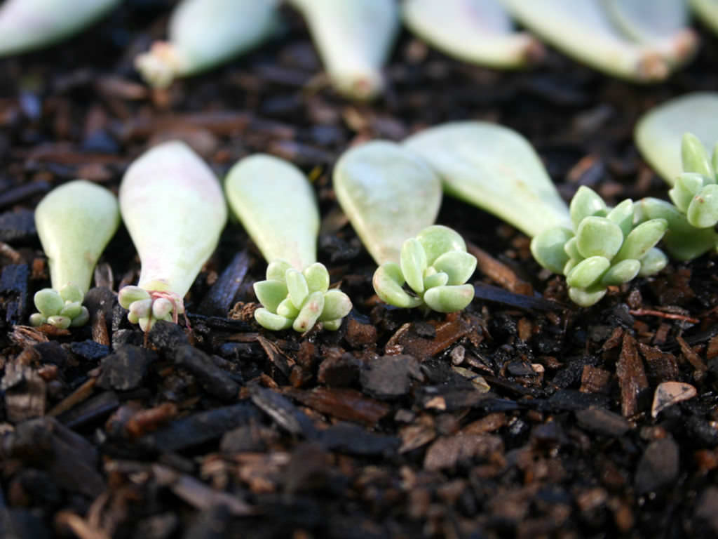 how to propagate succulents in 4 simple steps world of succulents. Black Bedroom Furniture Sets. Home Design Ideas