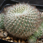 Rebutia steinbachii subsp. tiraquensis