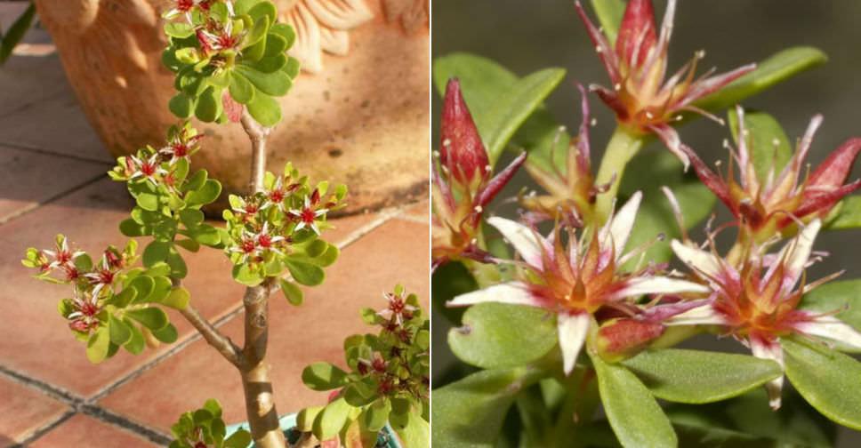 Sedum Oxypetalum Dwarf Tree Stonecrop World Of Succulents