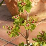Sedum oxypetalum - Dwarf Tree Stonecrop