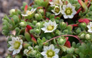 Sedum sedoides aka Rosularia sedoides or Rosularia sedoides var. alba