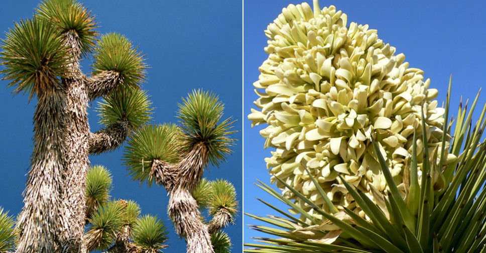 Yucca Brevifolia Joshua Tree World Of Succulents