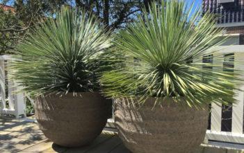 Yucca rostrata - Beaked Yucca
