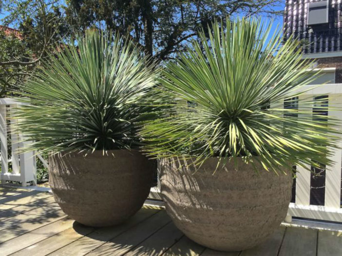 yucca mature singles Pollination in plants: types, advantages and disadvantages  flowers are bisexual and both sexes mature at the same  yucca, amorphophallus the tallest.