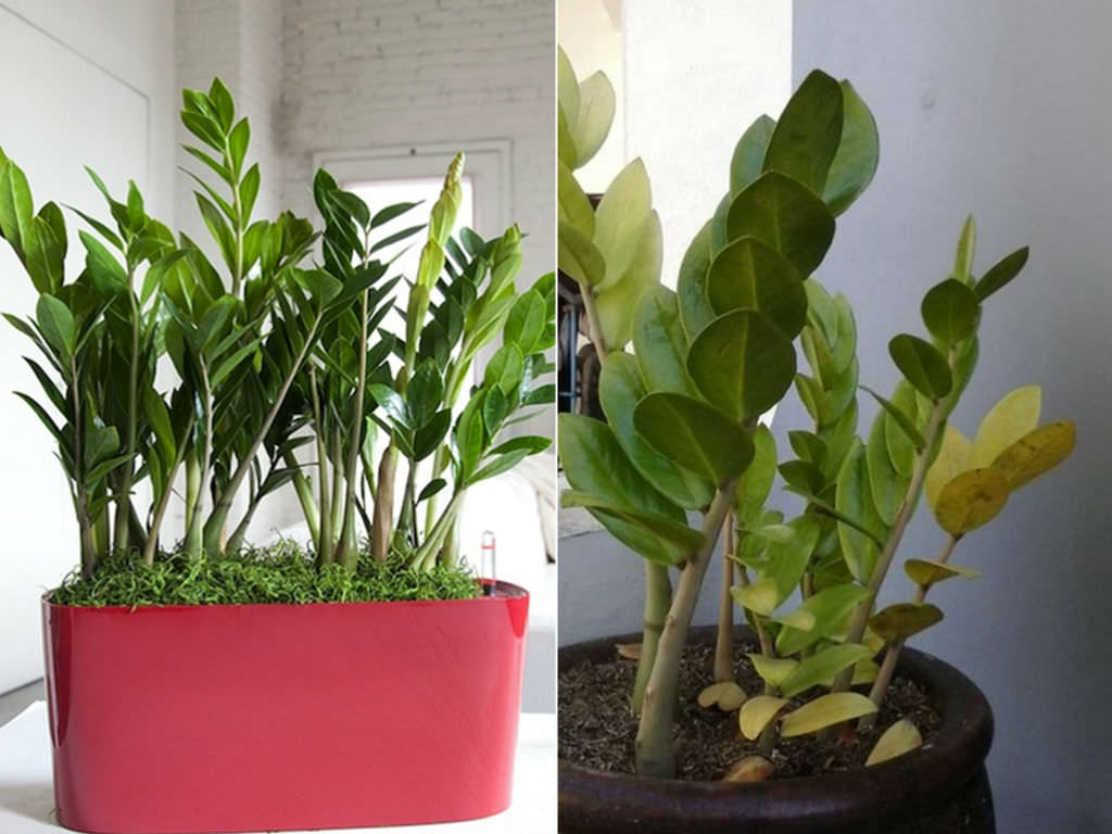 How to care for yellow leaves on a zz plant zamioculcas for Plante zamioculcas