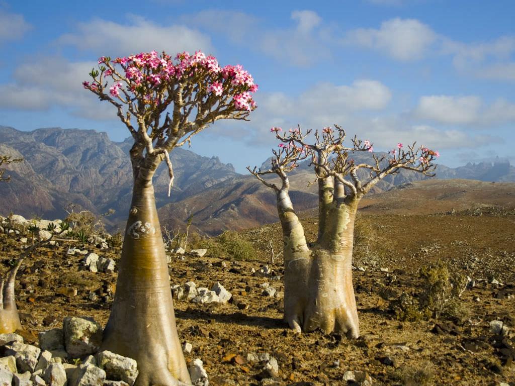Adenium obesum subsp. socotranum   World of Succulents