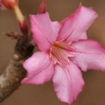 Adenium obesum subsp. socotranum (Socotran Desert Rose)