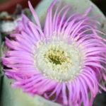Argyroderma patens - Blue Stone Plants