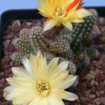 Chamaelobivia 'Arlequin' (Peanut Cactus)