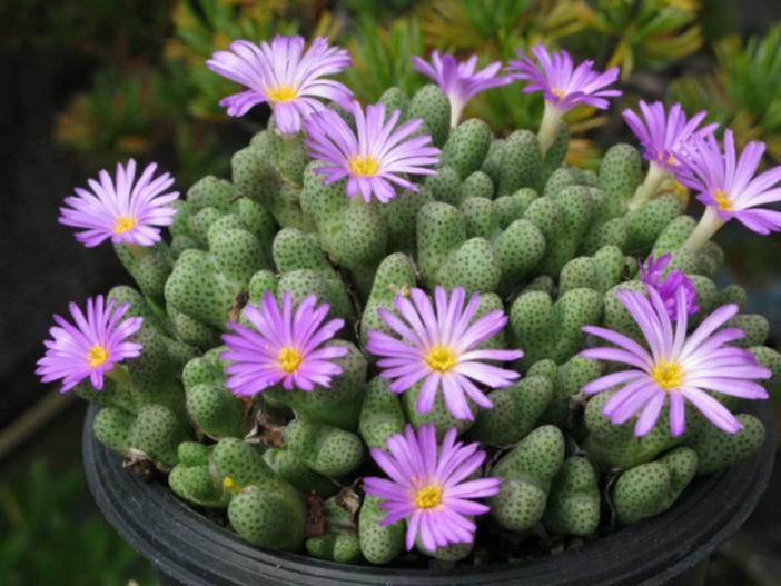 Conophytum marginatum subsp. haramoepense