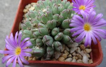 Conophytum marginatum