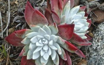 Dudleya farinosa - Bluff Lettuce