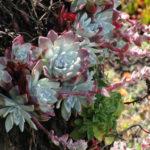 Dudleya farinosa (Bluff Lettuce)