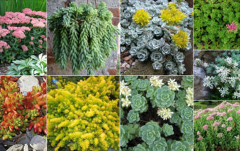 Easy Care Sedums