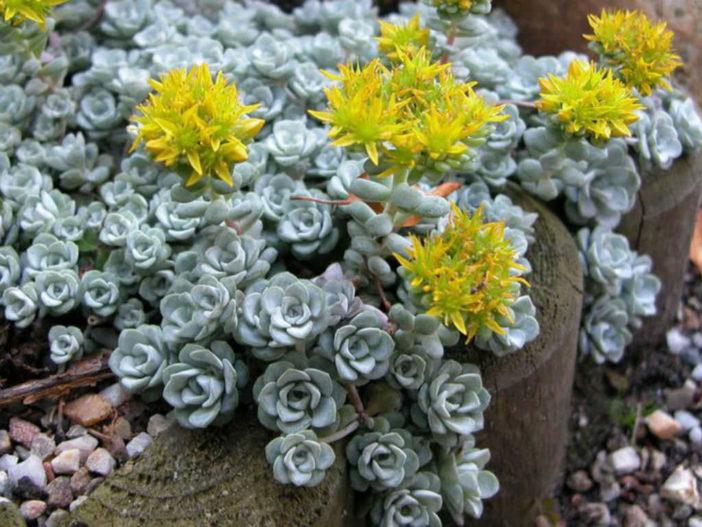 Easy Care Sedums (Sedum spathulifolium)