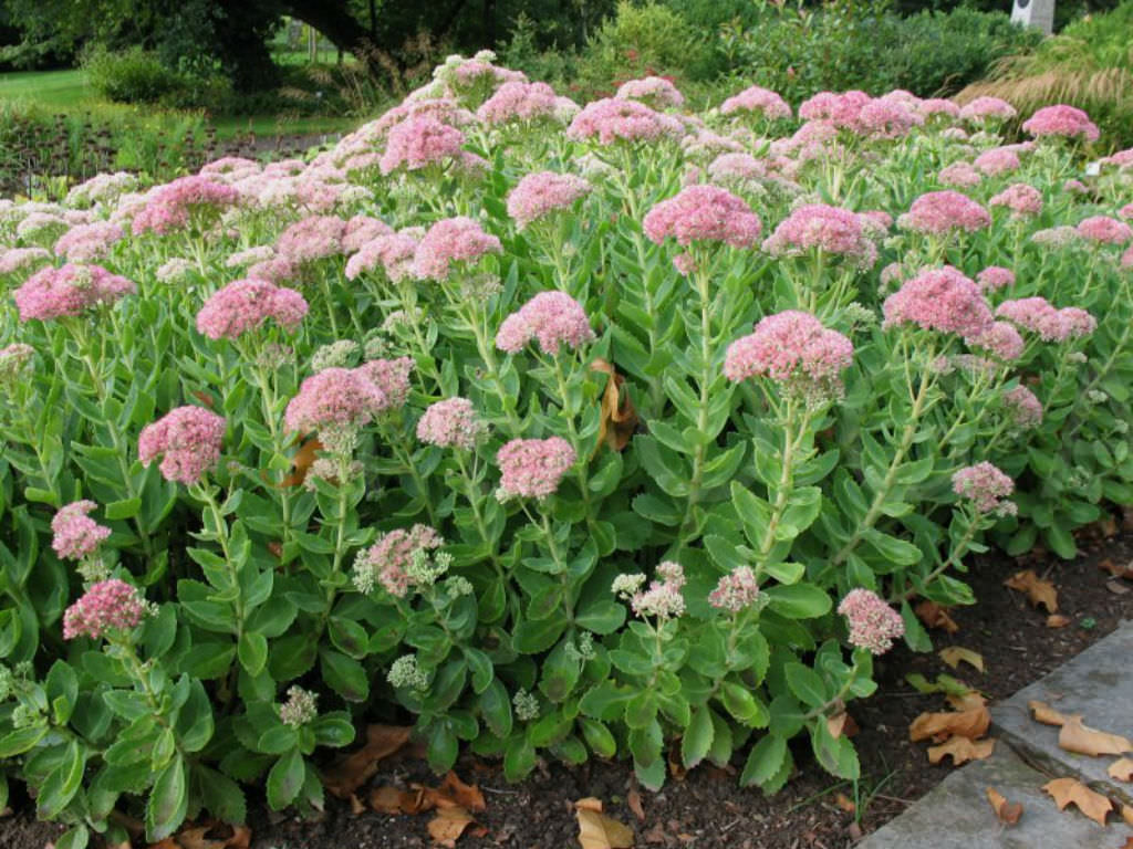 Caring For Sedum Turquoise Tails – How To Grow Turquoise Tails ...