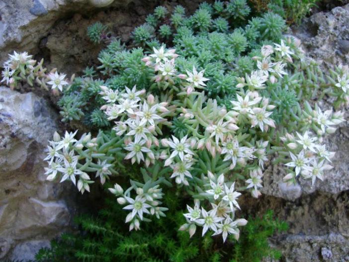 Easy Care Sedums (Sedum hispanicum)